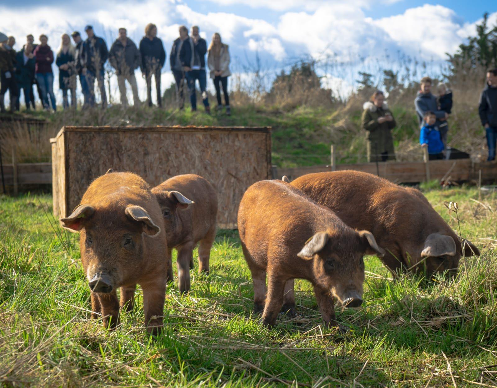 Welkom varkens!